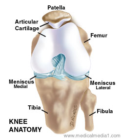 Anatomy of the Knee Joint | Paley Orthopedic & Spine Institute